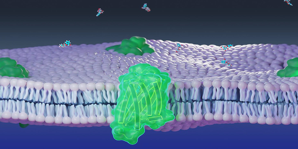 Molecular model of chemosensory receptor (green) and cellular membrane (purple) used in numerical and molecular simulations.